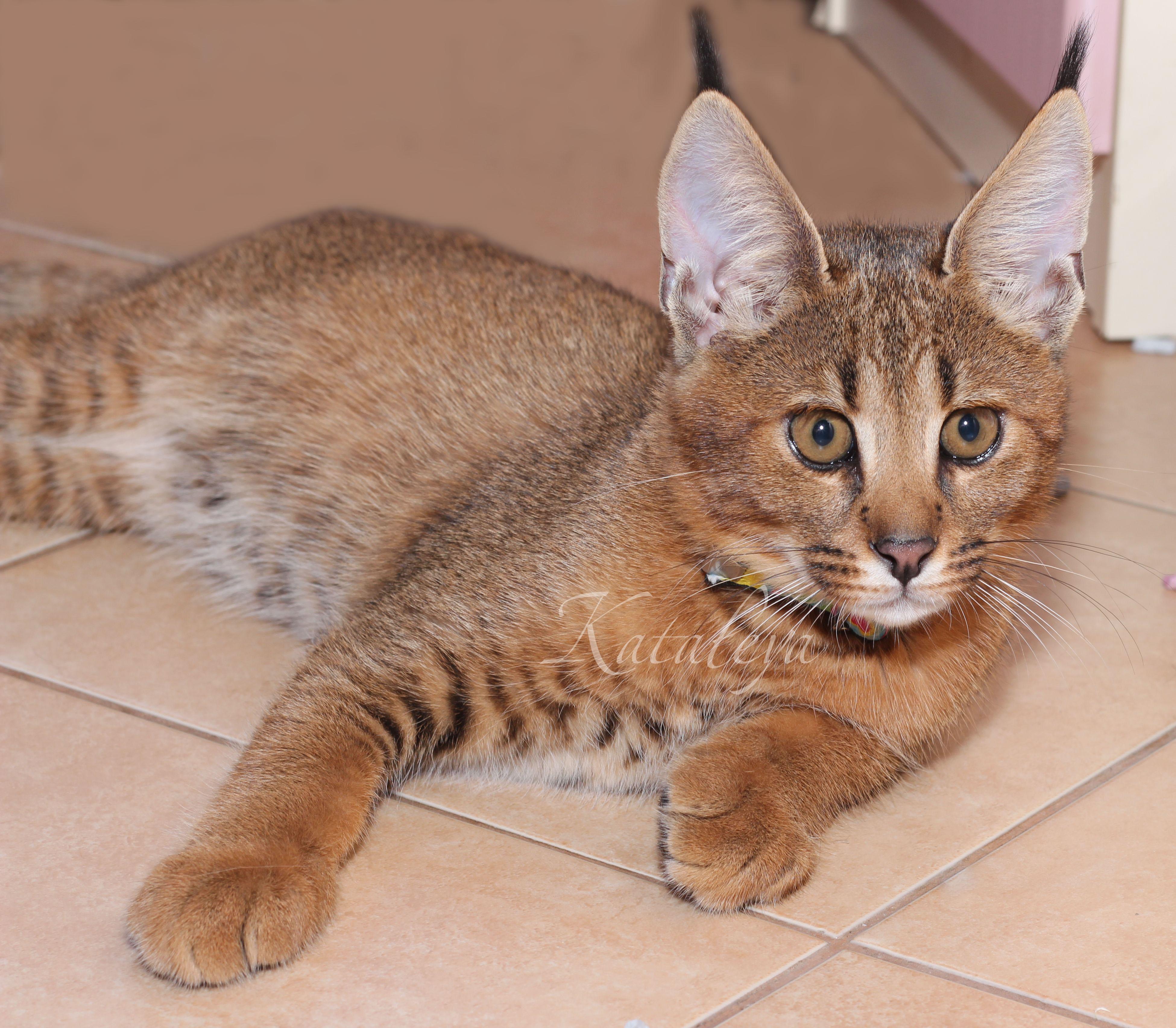 домашняя рысь порода кошек фото умеют скрывать